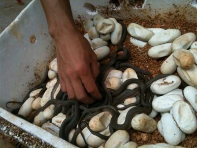 2015年大王蛇蛋孵化