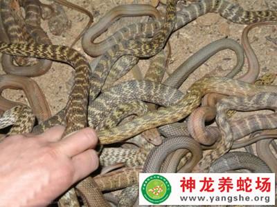 2014年大王蛇幼蛇养殖 (6)