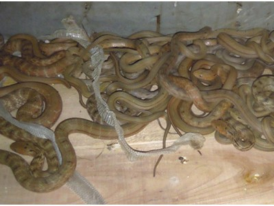 2010年大王蛇幼蛇养殖
