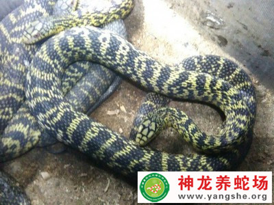2010年大王蛇养殖