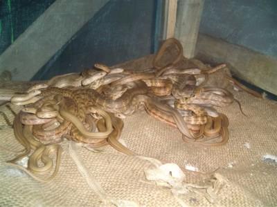 2009年大王蛇幼蛇养殖