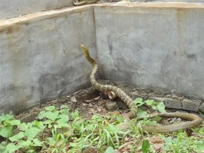2009年大王蛇生态养殖(暂养)