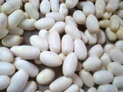 2015年产的眼镜蛇蛋 (47)