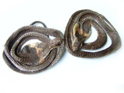 2012年制作的眼镜蛇干
