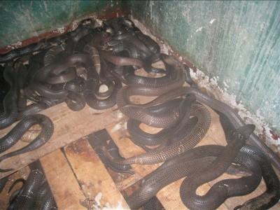 2010年养殖的眼镜蛇