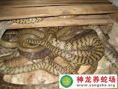 2014年水律蛇养殖 (37)