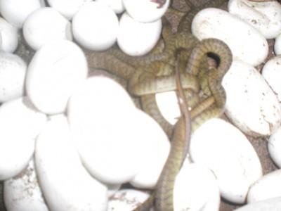 2014年水律蛇苗出壳