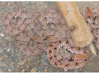 2015年五步蛇幼蛇