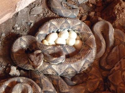 2015年五步蛇产蛋
