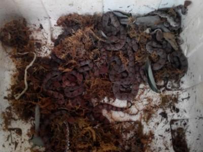 2012年五步蛇幼蛇养殖