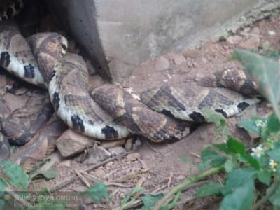 2012年五步蛇养殖
