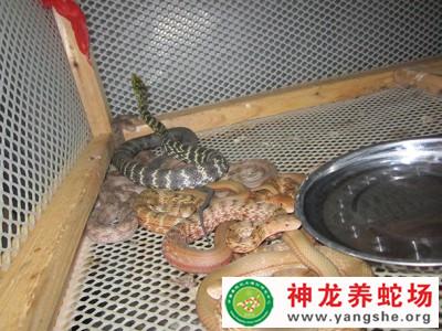 2015年1月份的大王蛇幼蛇