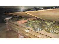 大王蛇商品蛇(2.5斤以上)