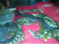 大王蛇种蛇