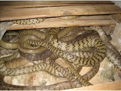 水律蛇种蛇