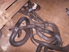 眼镜蛇商品蛇
