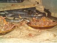 眼镜蛇种蛇