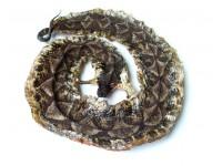 五步蛇蛇干