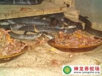 眼镜蛇养殖的种蛇选择与核心群建立