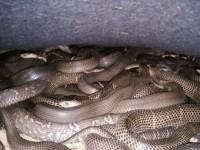 眼镜蛇养殖的常规驯养方法