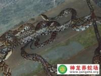 五步蛇养殖的种蛇选择与放养