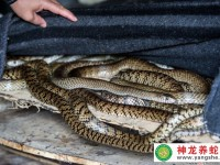 """养蛇12年 广西""""蛇老大""""带领残疾徒弟生活奔小康"""