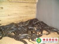 种作物致富很难 养毒蛇年赚百万