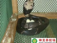 眼镜蛇木箱养蛇