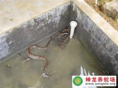 蛇类的自然繁殖过程