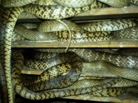 偷拍水律蛇进食